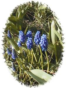 Hyacinths in Centennial Park - March 2001