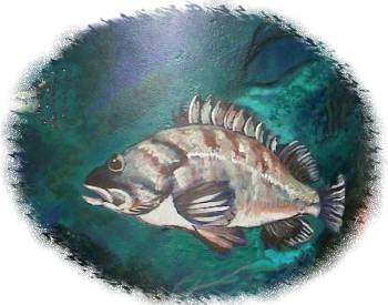 A healthy population of many kinds of fish can be found in the waters around Salt Spring Island including this Rock Cod which can be seen on the Landmark Mural in Ganges, BC..